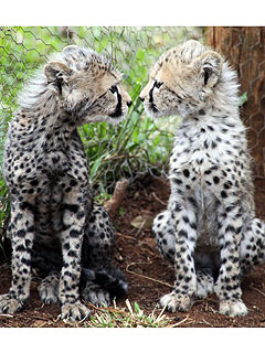 Sister Act! Abandoned Cheetah Cubs Stick Together| Baby Animals, Cute Pets