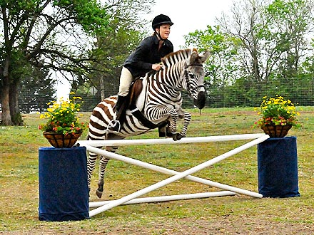 PHOTO: Zebra Jumps Like a Horse!