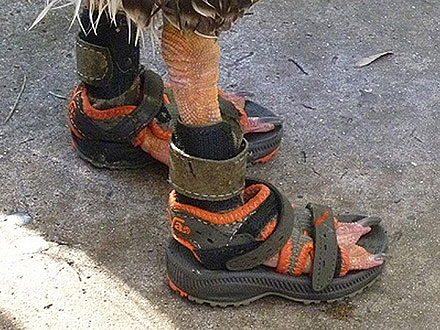PHOTO: Goose Wears Sandals!| Unusual Pets