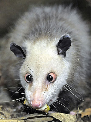 Heidi the Cross-Eyed Possum Gets Immortalized in Doll Form| Unusual Pets, Zoo Animals