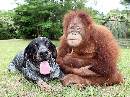 Dog and Orangutan Are Unlikely BFFs