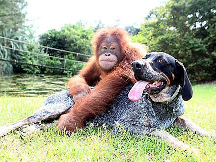 Lean on Me! Dog and Orangutan Are Unlikely BFFs| Cute Pets, Dogs