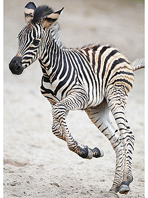 Cute Photo: Baby Zebra Jumps for Joy