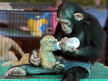 Chimpanzee Feeds Tiger with Baby Bottle