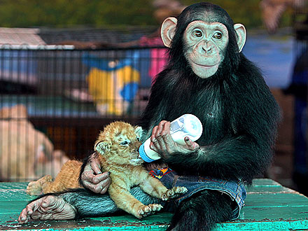 Aww! Chimp Lovingly Feeds Tiger Cub with Baby Bottle| Baby Animals, Cute Pets, Zoo Animals