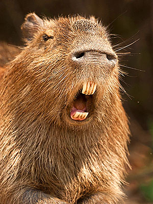 Capybara, World's Largest Rodent: 5 Things to Know
