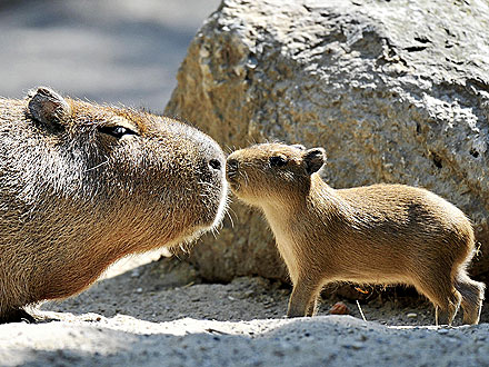 5 Things to Know About the Capybara, the World's Largest Rodent| Unusual Pets