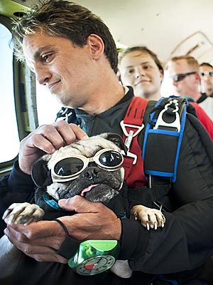 Skydiving Pug Is the New George H. W. Bush| Dogs, Talented Pets