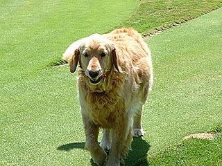 Dogleg! Golden Retriever 'Valet' Fetches Golf Cart Keys