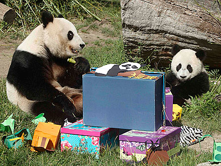 Panda Presents! Fu Hu Celebrates His First Birthday