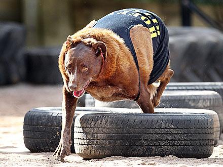 Wonderful Chub Chubby Adorable Dog - overweight-dog-1-440  Trends_625335  .jpg