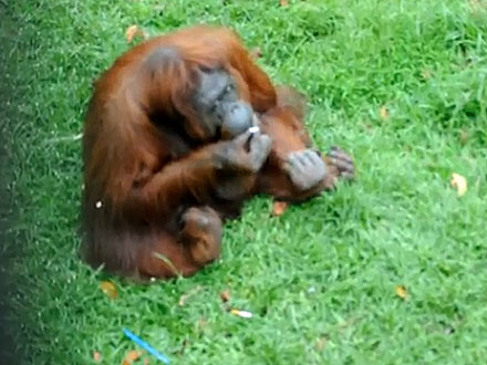 Shirley the Smoking Orangutan Has Kicked the Habit!