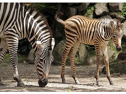 Aww! Baby Zebra Spends Fun Day with Mom