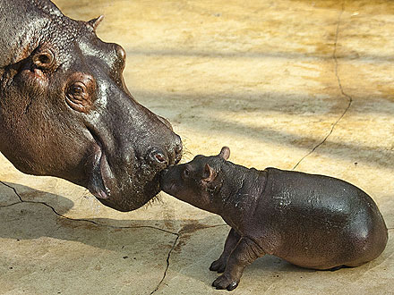 Cutie, Cutie Hippo! Baby Calf Gives Mom a Kiss