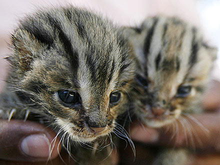 Rescued Leopard Kittens Come Back from the Brink| Baby Animals, Zoo Animals