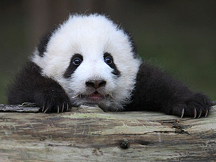 Cute Photo: Baby Panda Gets Stuck Behind a Log