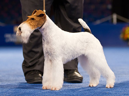 National Dog Show 2011 Names Wire Fox Terrier Best in Show