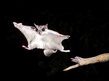 The Water Bowl: Flying Squirrels Invade Emergency Room