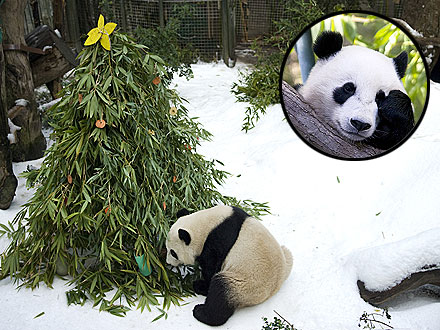 Aww! Panda Experiences His First Snow &#8211; and Christmas Tree