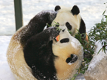 Eat Up! Giant Pandas Chow Down in Scotland Debut| Zoo Animals