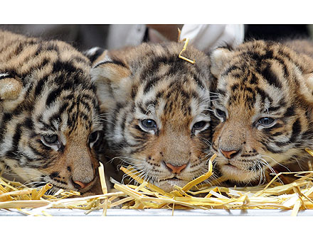 Triple Threat! Bengal Tiger Babies Go Head-to-Head