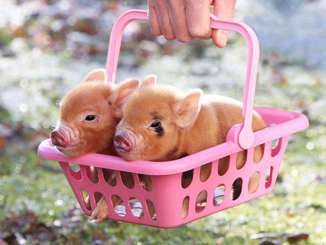Pink baby teacup pigs - photo#28