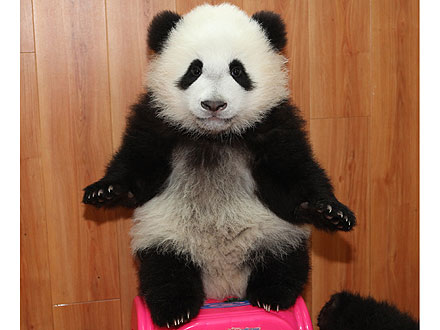 Aww! Baby Panda Plays with New Year's Presents| Baby Animals, Zoo Animals