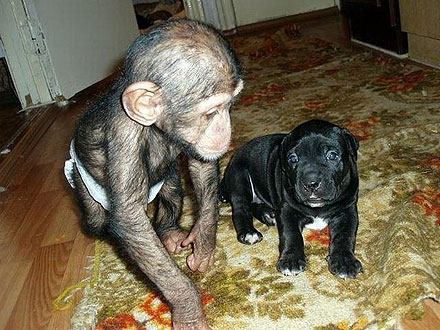 Orphaned Chimp Finds New Family – with Dogs