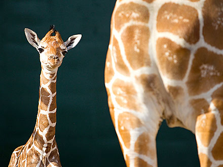 Cute Photos: Baby Giraffe Enjoys Time with Mom| Baby Animals, Zoo Animals
