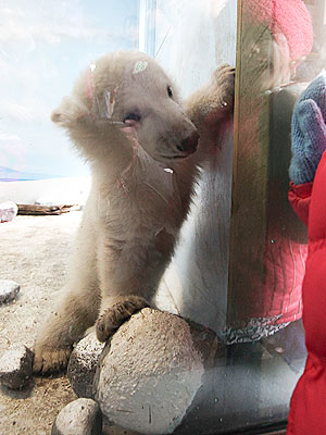 Cute Photos! Polar Bear Cub Makes His Debut| Baby Animals, Zoo Animals