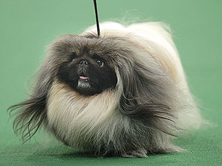 Pekingese Wins Best in Show at Westminster
