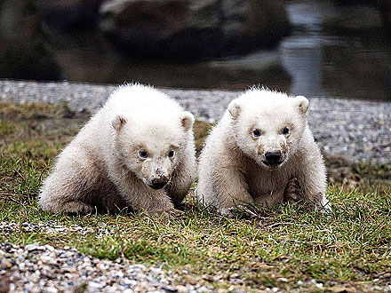 Double Dose of Cute! Polar Bear Twins Make Their Debut| Baby Animals, Zoo Animals