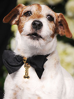 All About Uggie&#39;s Custom Chopard Collar | Uggie