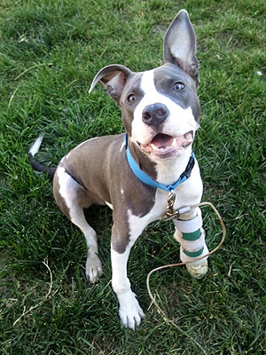 Pit Bull Receives Prosthetic Paw in California