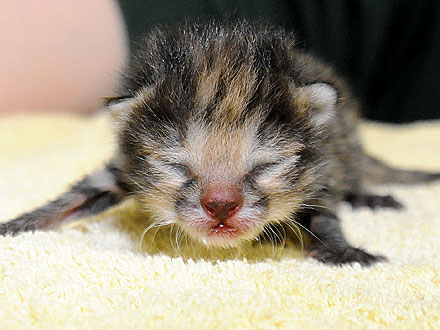 Rare Black-Footed Cat Gets Hand-Reared in Chicago| Baby Animals, Exotic Animals & Pets, Zoo Animals