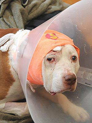 Pit Bull Survives Gunshot to Head in Home Robbery