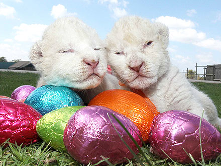 Happy Easter! It&#39;s a White Lion Cub Egg-Stravaganza