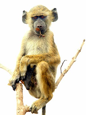 Baboons Can Recognize Words
