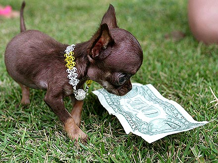 Is This Chihuahua the World's Smallest Dog?  Baby Animals, Cute Pets, Dogs