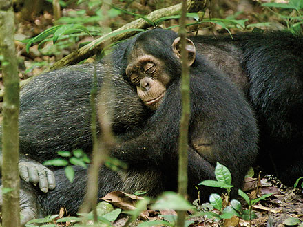 Jane Goodall: Chimpanzee Footage Is 'Almost Inconceivable'| Stars and Pets, Chimpanzee, Jane Goodall