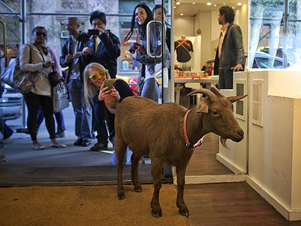 Pizza Goat Roams N.Y.C.| Unusual Pets