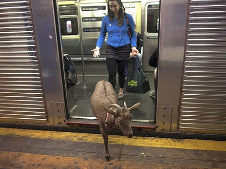 Pizza Goat Roams N.Y.C.