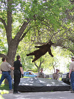 Unbelievable Photo! Tranquilized Bear Falls from Tree