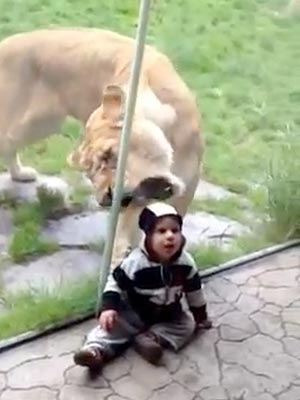Boy Gets Mistaken for Zebra by Lion at Oregon Zoo: Video