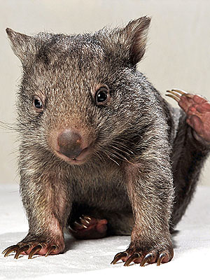 Orphaned Baby Wombat Needs a Friend