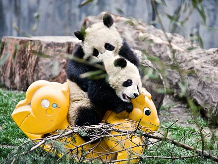 Cute Photos: Pandas at Play| Exotic Animals & Pets, Zoo Animals