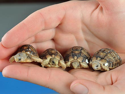 Aww! Tiny Tortoises Have That Just-Hatched Glow| Baby Animals, Zoo Animals