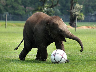 PHOTO: This Baby Elephant Is Playing Soccer – Yes, Really