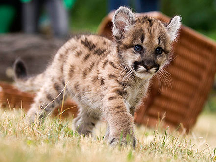 Cute Photo: Long-Awaited Puma Cub Makes Debut