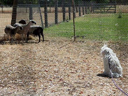 Beast Zuckerberg Herds Sheep for the First Time| Stars and Pets, Dogs, Mark Zuckerberg, Priscilla Chan